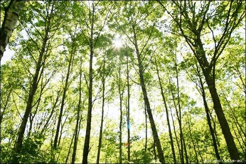 这是喇叭沟门孙栅子村附近的白桦林,森林公园 14张