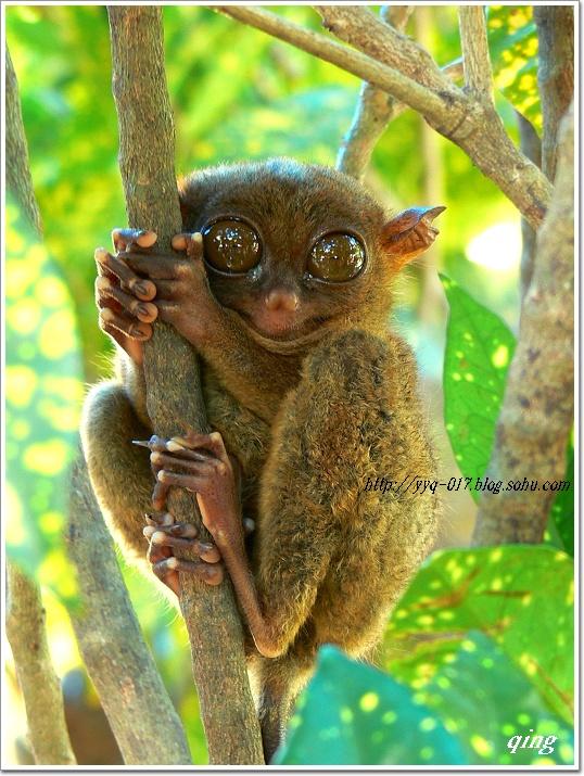 眼镜猴小小的身子配上那么双大眼睛显得十分可爱.