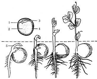 豌豆简笔画步骤