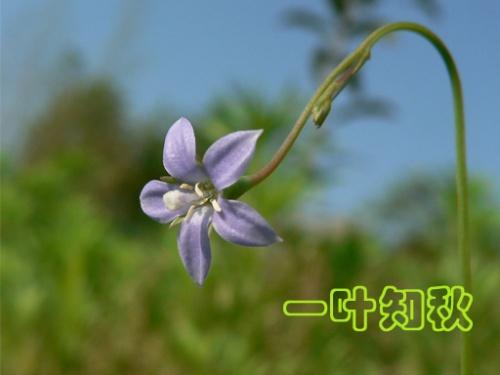桔梗科之蓝花参