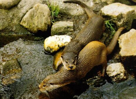 大兴安岭野生动物——水獭