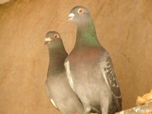 鸽子的笼子生活和自由生活图片