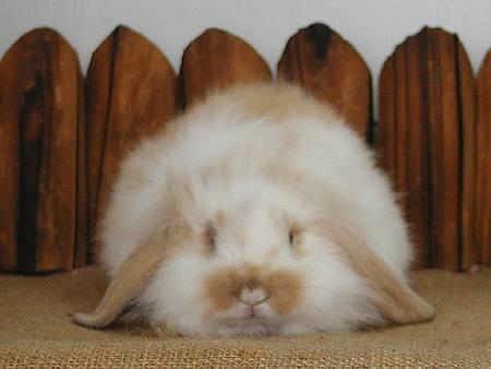 累趴下的可爱图片兔子