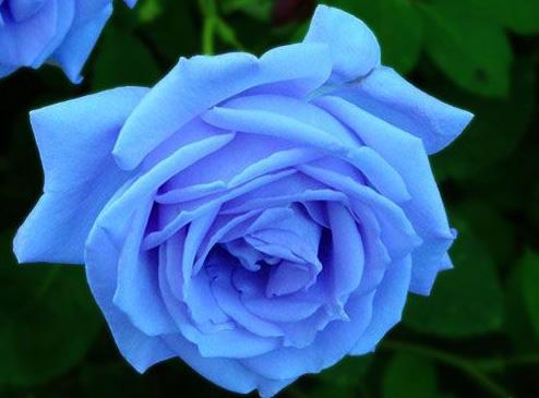 黑玫瑰花语图片
