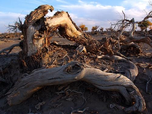 胡杨树的壮观是因为胡杨树体积高大,枝繁叶茂,这非一般的树木可比,最