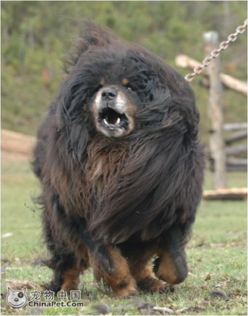 藏獒犬   藏獒属工作犬与现赏犬为一体的特殊犬种   藏獒专家高清图片